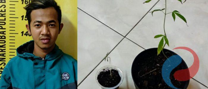 Tanam Ganja, Warga Rejo Agung Dijebloskan Tahanan Polres Bondowoso